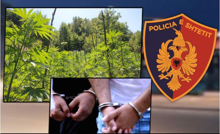 Kultivonin bimë narkotike në brendësi të ullishtes së tyre, arrestohen 2 persona në Poliçan