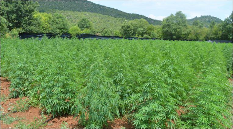 Policia zbulon plot shtatë parcela me kanabis, shkatërrohen 3.700 bimë narkotike, arrestohet 34 vjeçari